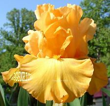 "Tall Bearded ""Mango Passion"" Iris - Pronounced Fragrant '05 * Pre-Sale"