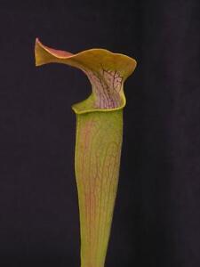 Carnivorous Sarracenia rubra subsp alabamensis