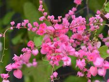 New! 15 seed Vine Seeds: PINK Antigonon leptopus Rosa De Montana Queen's Wreath