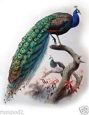 Peacock Bird Poster/Print 17x22 Inch Vintage Peacock Illustration