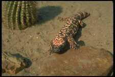 175019 Gila Monster Lizard A4 Photo Print