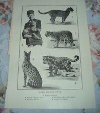 1919 Some Fierce Cats Leopard Himalayan Snow Saharan Serval Jaguar Ocelot Print