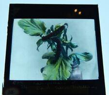 Caterpillars On A Plant Colour Antique Glass slide Magic lantern