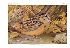 "1936 Vintage FUERTES BIRDS #31 ""AMERICAN WOODCOCK"" Color Art Plate Lithograph"