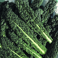 KALE Black Toscana 100 HEIRLOOM Seeds winter spring cool season Vegetable Garden