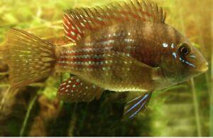"""4 Unsexed gymnogeophagus terrapurpura 2"""" Young Dwarf Cichlid Live Tropical Fish"""
