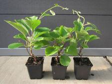 Kiwi-Pflanze - Actinidia 'Solo' - selbstfruchtend - Pflanze 30-50cm Winterhart