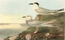 "JAMES AUDUBON 1937 Book Print ""FORSTER/TRUDEAU TERNS"" Birds of America Painting"