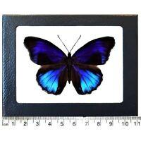 Eunica excelsa blue black butterfly Peru Framed
