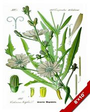 CHICORY FLOWER PLANT CHICORIUM ILLUSTRATION PAINTING ART REAL CANVAS PRINT