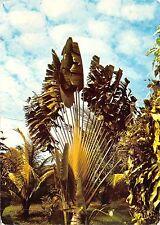 BF453 arbre du voyageur caribbean