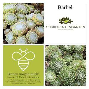 "Sempervivum Rosetten Hauswurz Dachwurz Staude Pflanze Winterhart ""Bärbel"" 531"