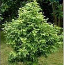 FERN-LEAVED TAMARIND Sarcotoechia serrata native tree plant in 140mm pot