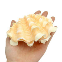 Natural Shell Clam Home Decor Furnishing Marine Sea Shell Giant Tridacna Conch