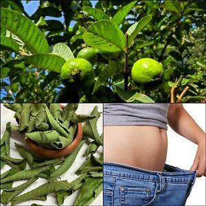 Pure Organic Homemade Dried Guava Leaves Fresh Green Anti Diabetic Ceylon 65 pcs