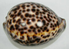 CYPRAEA TIGRIS SCHILDERIANA 106.68mm BEAUTIFUL XL SPECIMEN Kona, Hawai'i, HI