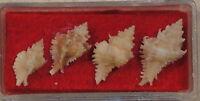 Murex Cellulosus Leviculus 4 Shells Dredged W of Egmont Key,Florida 40 fathoms