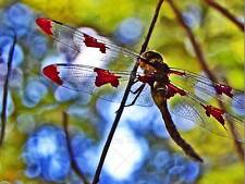 NATURE DRAGONFLY INSECT BUG COLOUR POSTER ART PRINT HOME PICTURE BB103B