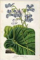 Van Houtte 1856 Antique Print: CAPE PRIMROSE Flower Botanical Decor Gift