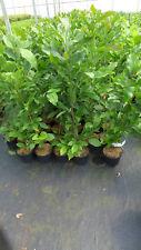 "Magnolie  Mangolia ""Susan"" winterharte Magnolie ca. 100 - 120 cm"
