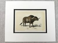 1853 Antico Stampa Siriano Bue Toro Bestiame Razza Originale Vittoriano Art