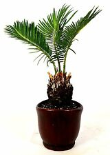 """New listing Sago Palm - 4.5"""" Ceramic Pot Easy To Care Indoor / Outdoor Mature Giftholiday"""