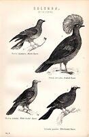 1880 Stampa ~ Naturale Storia ~Pigeons~ Bianco Avviato Whiteheaded Incoronato