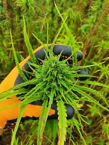 Hemp Organic Seeds certified 300Pcs  High Quality A Grade For Planting