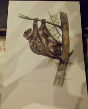 N°15 Mammal Poster the Galeopithel Lemurs near Bats Galteopithecus