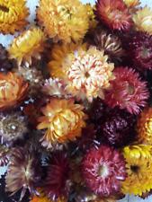 Strawflowers Heads Dried Flowers Mix Dried Strawflower Head