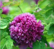 Purple Flower China's Peony Seed Paeonia suffruticosa Tree DIY Garden Free shipp