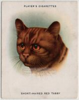 Breeds of Cats - Short Haired Red Tabby Cat Feline 1930s Ad Trade Card