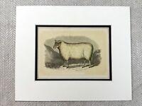 1853 Antico Stampa Cheviot RAM Pedigree Pecora Razza Originale Vittoriano Art