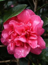 """Bob Wines Camellia Gardens 18-30"""" Camellia Sasanqua Sparkling Burgundy"""