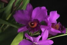 Potinara Autumn Serenade 'Exotic Orchids' Am/Aos 3� Pot (15) 7524