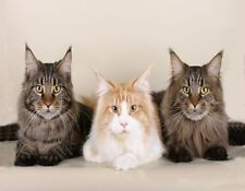 METAL REFRIGERATOR MAGNET Three Maine Coon Cats Looking At Camera Cat