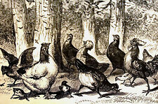 Berghaus CHICKENS Eating LOCUSTS Killed by Birds 1877 Engraving Art Print Matted