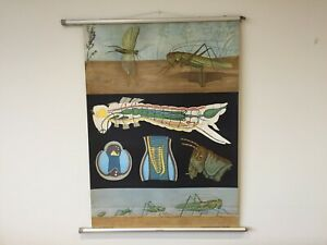Vintage Zoological Educational wall Chart by Jung, Koch & Quentell - Grass Hoper