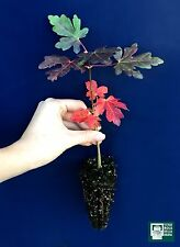 ACER CAMPESTRE alv Acero loppio testucchio Field Maple pianta o Prebonsai plant