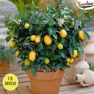 Dwarf Lemon Tree Indoor House Plant Outdoor Plants 15 Seeds RARE Home Decor