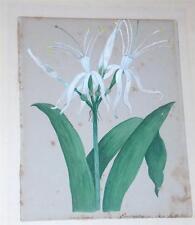 Original Watercolor Sea Daffodil Margaret Foster Farrell 1840's British Jamaica