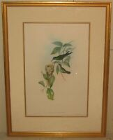 Original Antique JOHN GOULD Violet Capped Wood Nymph HUMMINGBIRD Bird Lithograph