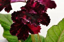Streptocarpus 'The Red & The Black'-African Violet Kin