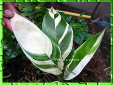 "Rare ""Heliconia Red Flower Variegated "" New Variety Specail Flower.@"