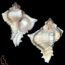 Murex Chicoreus virgineus, India, Muricidae sea shell