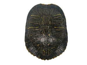 Red Ear Turtle Shell Multiple sizes (227GS-xxx)