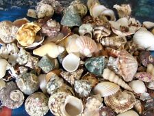"1 KILO PHILIPPINE SEA SHELL MIX 3/4""to 2-1/2""  DECOR CRAFT REEF NAUTICAL BEACH"