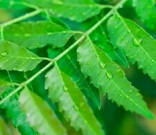 neem tree leaves for steam inhalation and tea