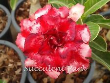 "Rosy Adenium Obesum (Desert Rose) ""Mayaratsamee"" grafted plant"