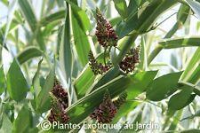 Apios americana ° Glycine tubéreuse ° 1 plant